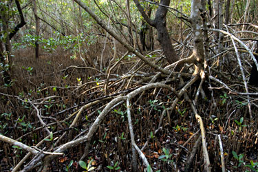what is mangrove forest pdf